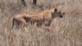 حمله دسته جمعی شیرها به گله گورخرها