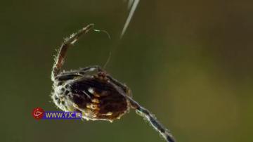 تنیدن تار و شکار  حرفه ای حشرات توسط عنکبوت